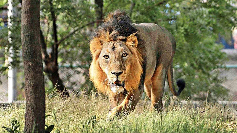 Spotting Asiatic Lions At Gir Wildlife Sanctuary